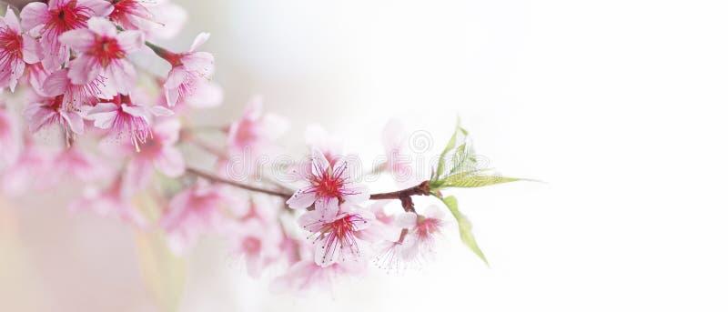 Kwiat wiosenny kwitnie natura tło, płytka głębokość pola dziki Himalajski kwiat wiśniowy lub Sakura różowe kwiaty z młodymi zdjęcie stock
