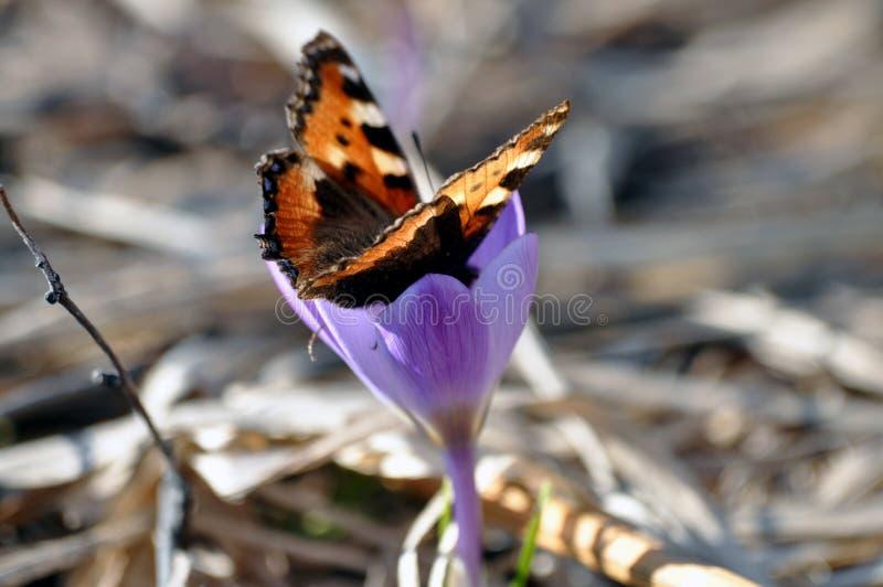 Kwiat wiosny krokusa motyl i fiołek zdjęcia stock