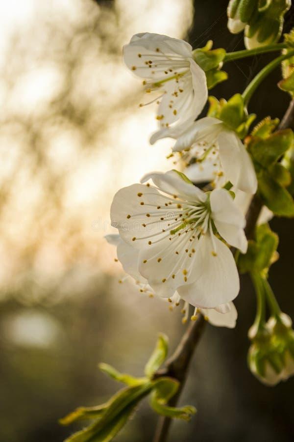 Kwiat wiosny rośliny bokeh makro- zmierzch zdjęcia stock
