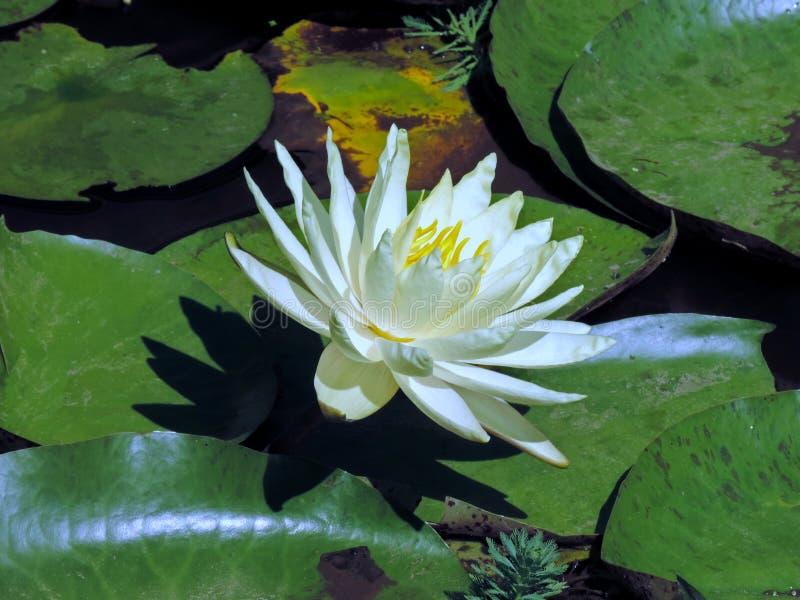 kwiat woda zdjęcia royalty free