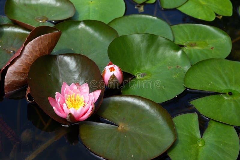 kwiat woda zdjęcia stock