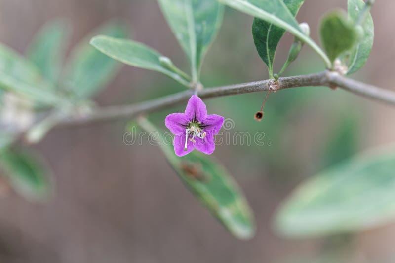 Kwiat wolfberry Lycium barbarum zdjęcia stock