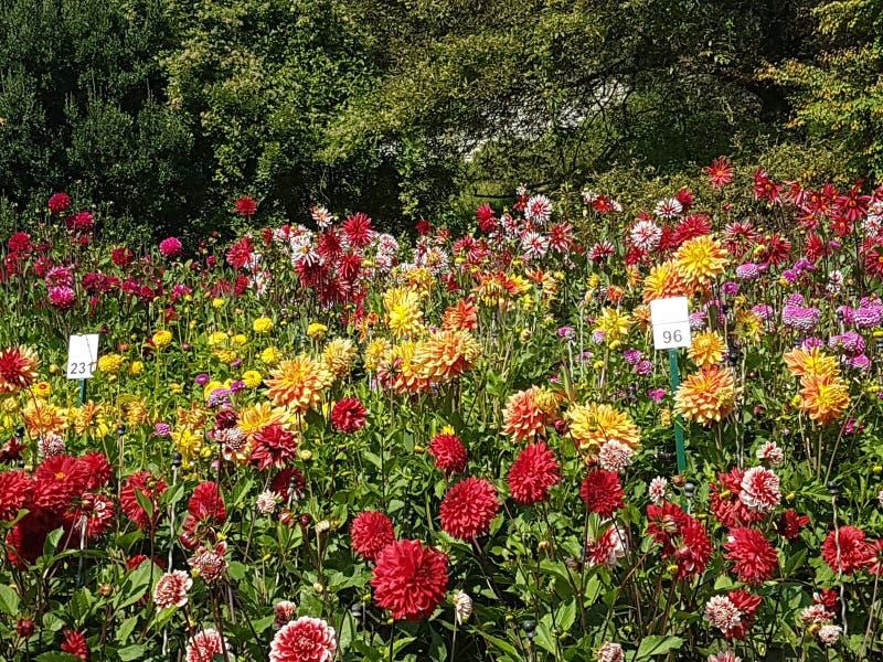 Kwiat wyspa Mainau fotografia royalty free