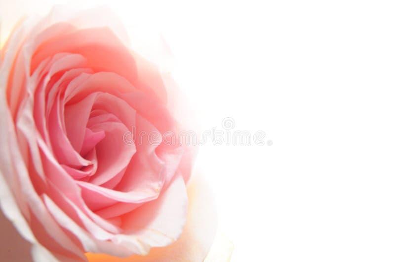 kwiat wzrastał obraz stock