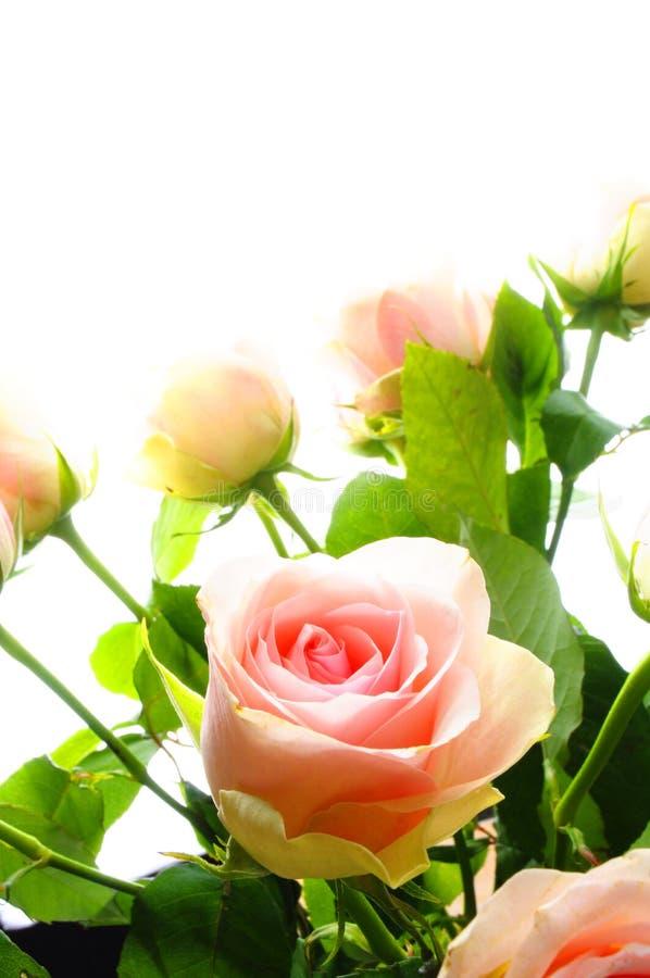 kwiat wzrastał zdjęcia royalty free