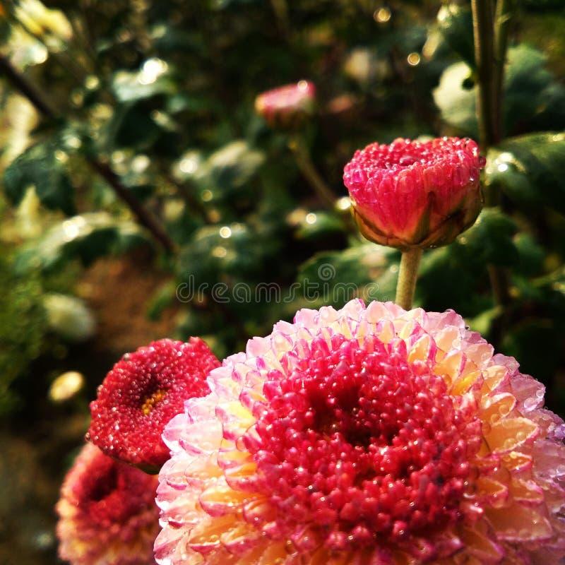 kwiat z deszcz kroplą obraz royalty free