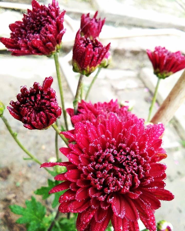 kwiat z deszcz kroplą obrazy royalty free