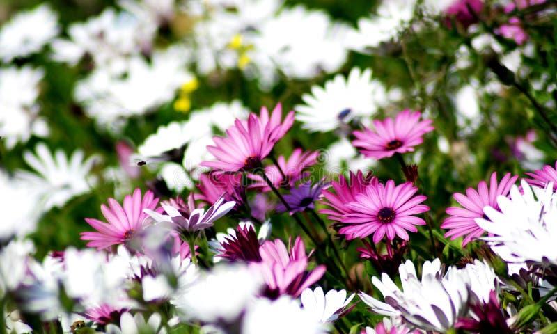 kwiat zamknięte menchie up biel obrazy royalty free