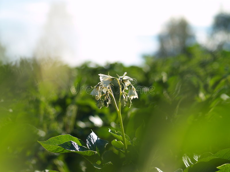 kwiat ziemniaka obrazy royalty free