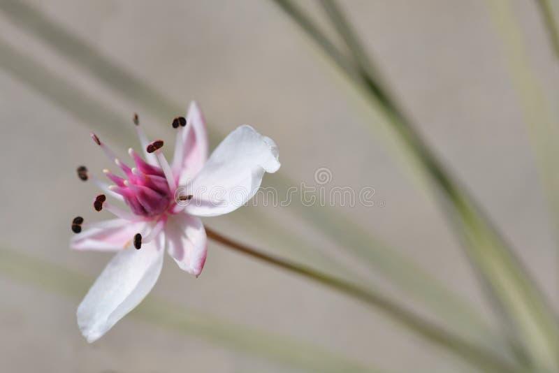 kwiatonośny pośpiech fotografia stock