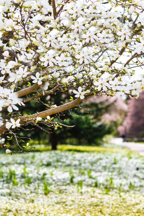 Kwiatonośna biała magnolia w wiosna parku na słonecznym dniu zdjęcia royalty free