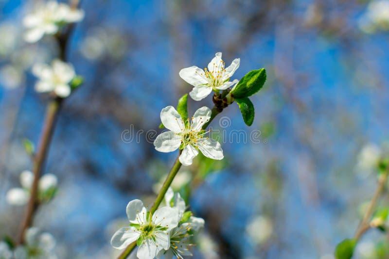 Kwiatonośna bonkrety gałąź w górę owocowego ogródu przeciw zamazywać roślinom i niebieskiemu niebu wewnątrz zdjęcia stock
