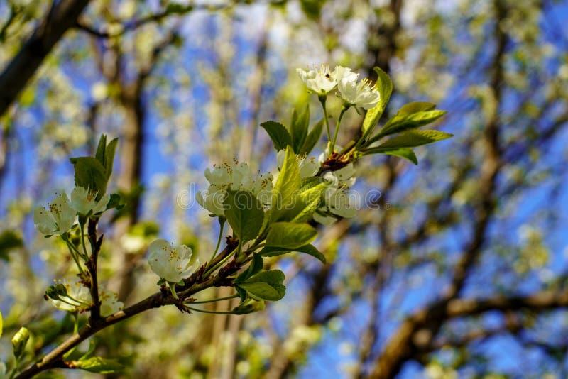 Kwiatonośna bonkrety gałąź z pięknym kwitnieniem kwitnie i potomstwo zieleń opuszcza przeciw niebieskiemu niebu fotografia stock