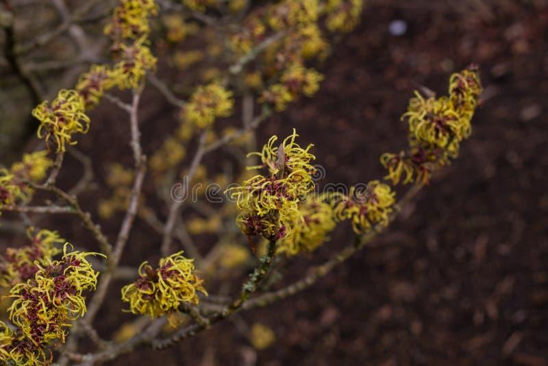 Kwiatonośna czarownicy leszczyna zdjęcie stock