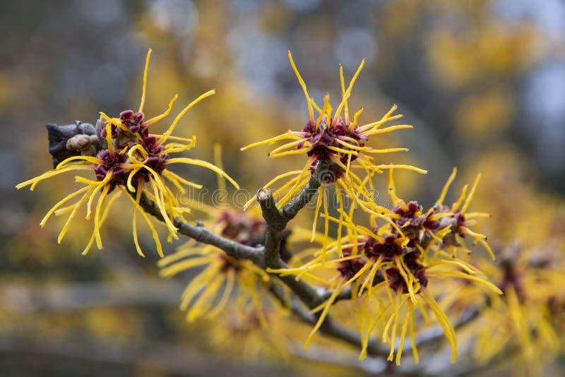 Kwiatonośna czarownicy leszczyna w wiośnie fotografia stock