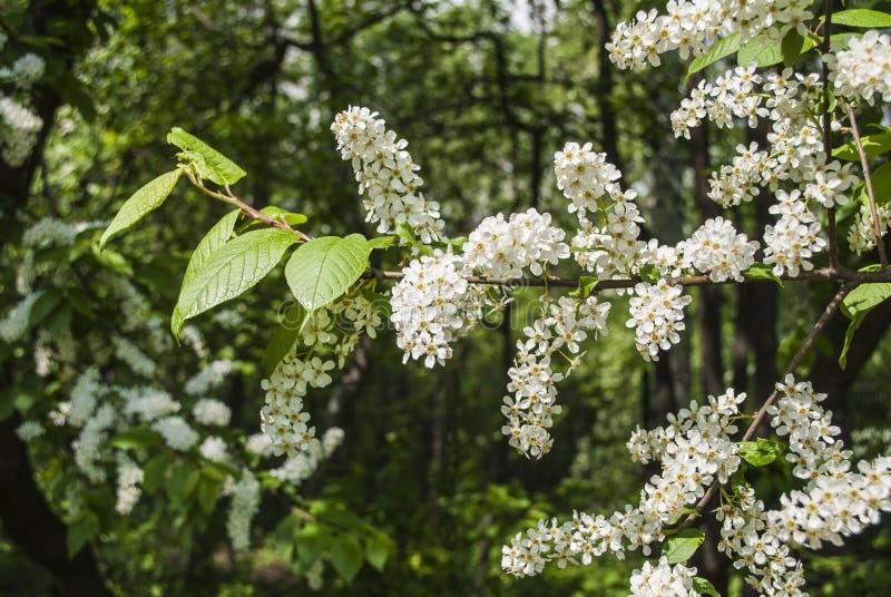 Kwiatonośna gałąź czeremchowy obrazy royalty free