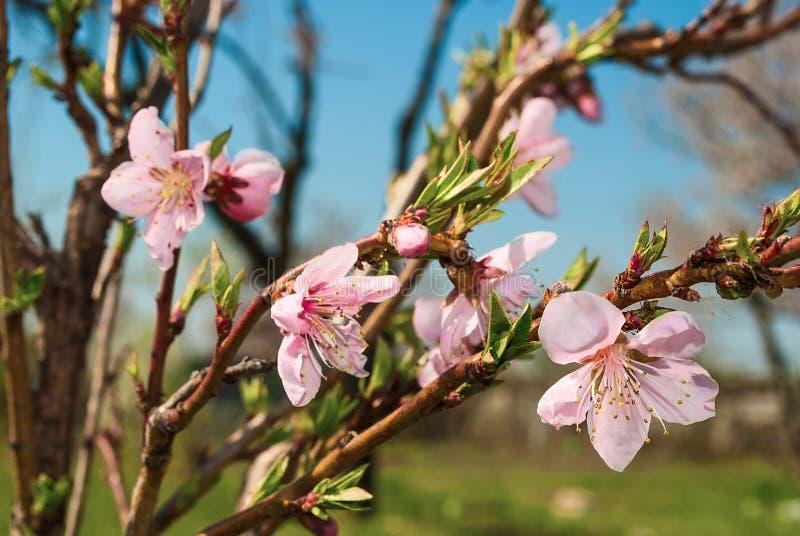 Kwiatonośna gałąź czeremchowy zdjęcia stock