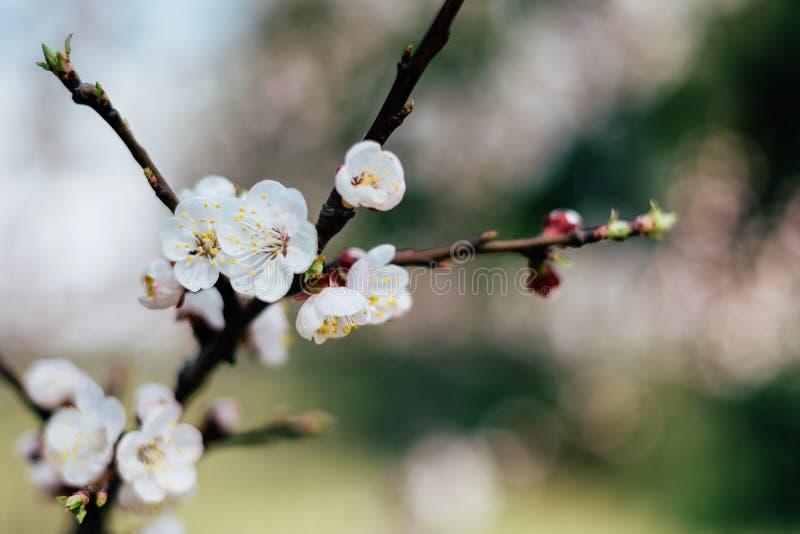 Kwiatonośna gałąź morele zdjęcia stock