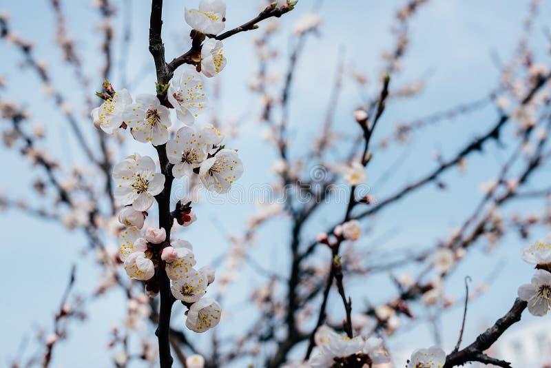 Kwiatonośna gałąź morele zdjęcie royalty free