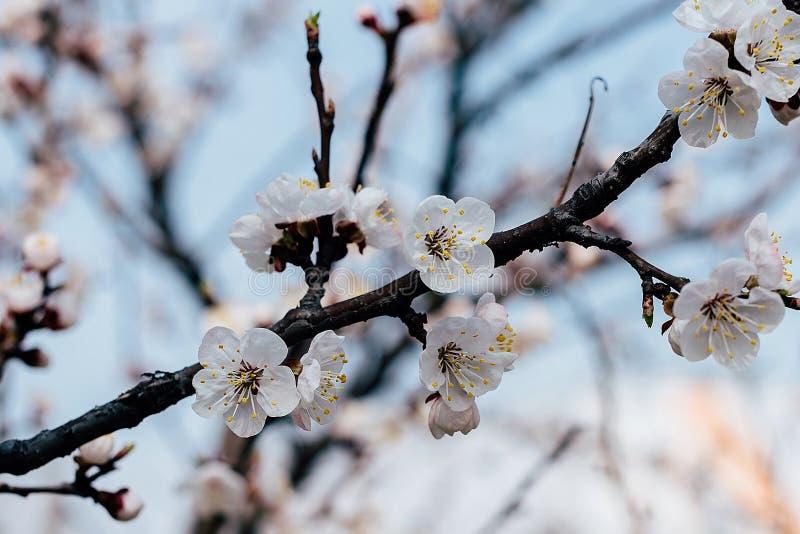 Kwiatonośna gałąź morele obraz stock