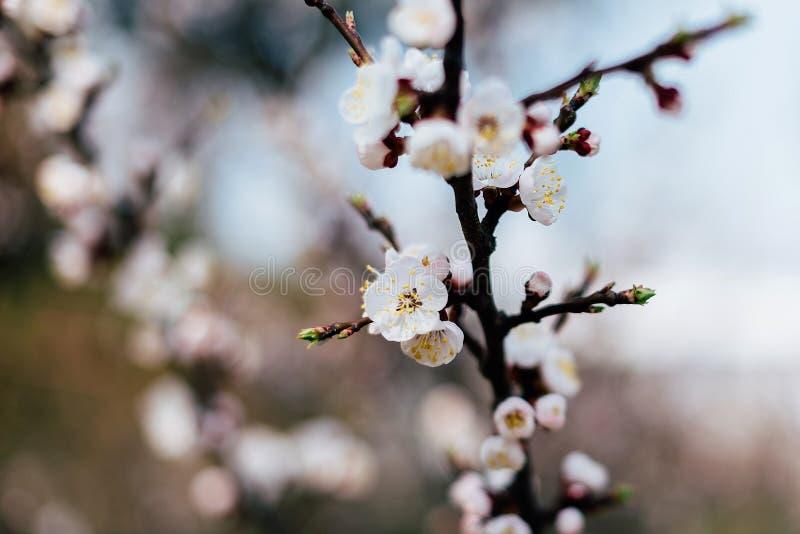 Kwiatonośna gałąź morele fotografia stock