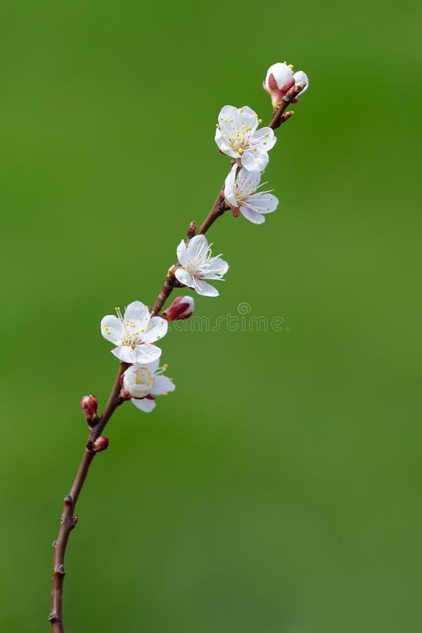 Kwiatonośna gałąź morele na zielonym tle zdjęcie stock