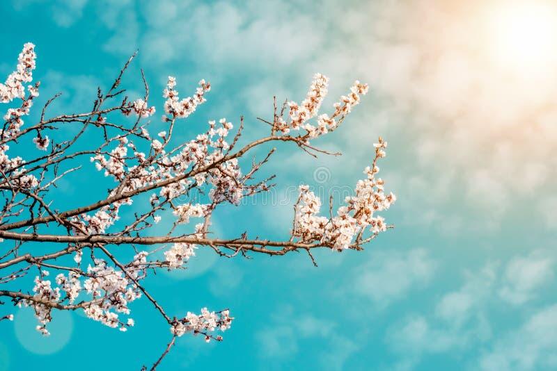 Kwiatonośna gałąź morele w wiosna słonecznym dniu fotografia royalty free