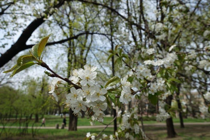 Kwiatonośna gałąź wiśnia w wiosna ogródzie obraz royalty free