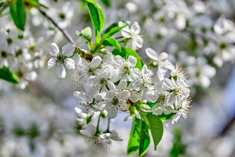 Kwiatonośna gałąź wiśnia w wiosna ogródzie w ostrości przeciw tłu kwitnie drzewo zdjęcie stock