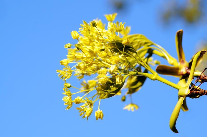 Kwiatonośna klon gałąź Kwiatonośny klonowy drzewo Makro- widoku kolor żółty obrazy royalty free