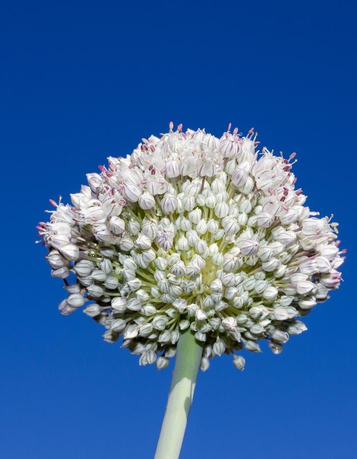 Kwiatonośna Leek roślina zdjęcia royalty free