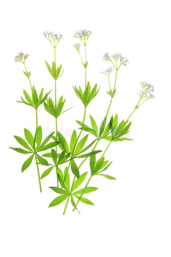 Kwiatonośna marzanka (Galium odoratum) obraz stock