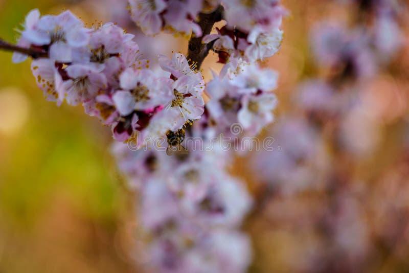 Kwiatonośna moreli gałąź z biel menchiami kwitnie z małą pszczołą na kwiacie zamkniętym w górę wiosny w zdjęcia royalty free