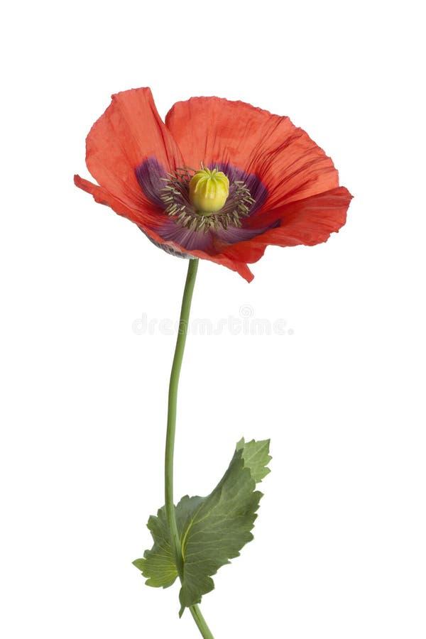 kwiatonośna opiumowego maczka czerwień zdjęcie stock
