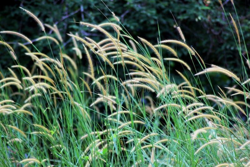 kwiatonośna trawa zdjęcie royalty free