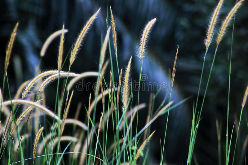 kwiatonośna trawa fotografia stock