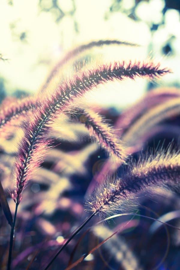 Kwiatonośna trawa, rocznika stylu światło. fotografia stock