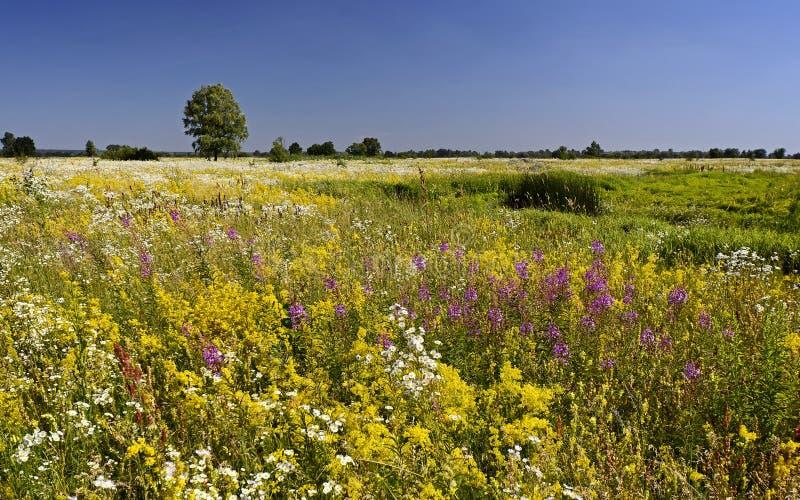 Kwiatonośna wodna łąka Lato obraz stock