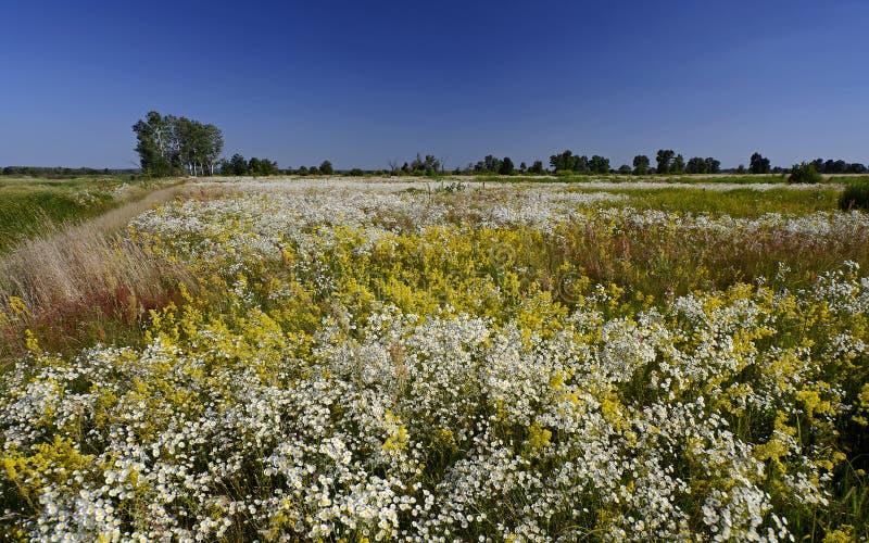 Kwiatonośna wodna łąka Lato zdjęcie royalty free