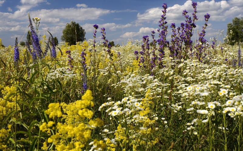 Kwiatonośna wodna łąka Lato zdjęcia royalty free