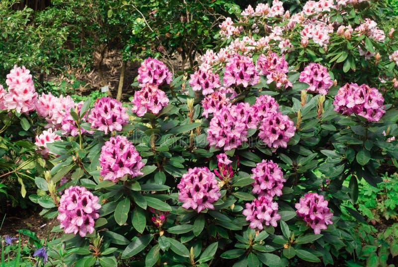 Kwiatonośne azalie kwitną w ogródzie obraz royalty free
