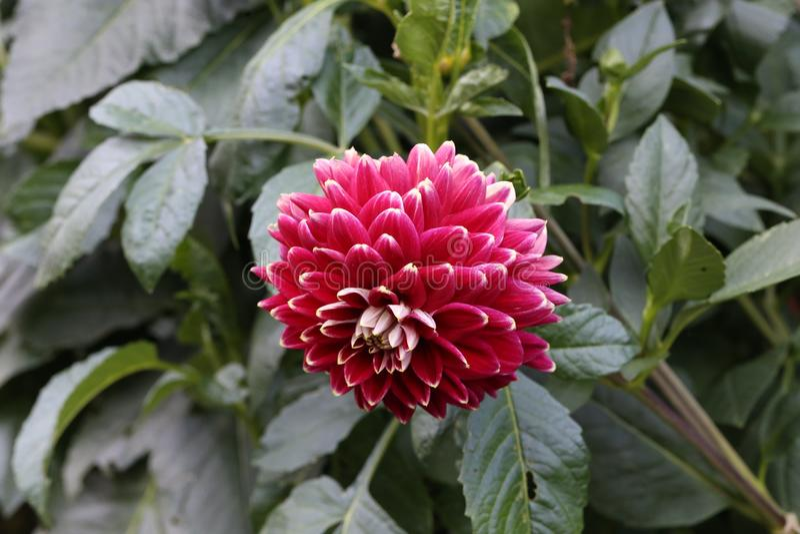 Kwiatonośne dalie w ogródzie obraz royalty free