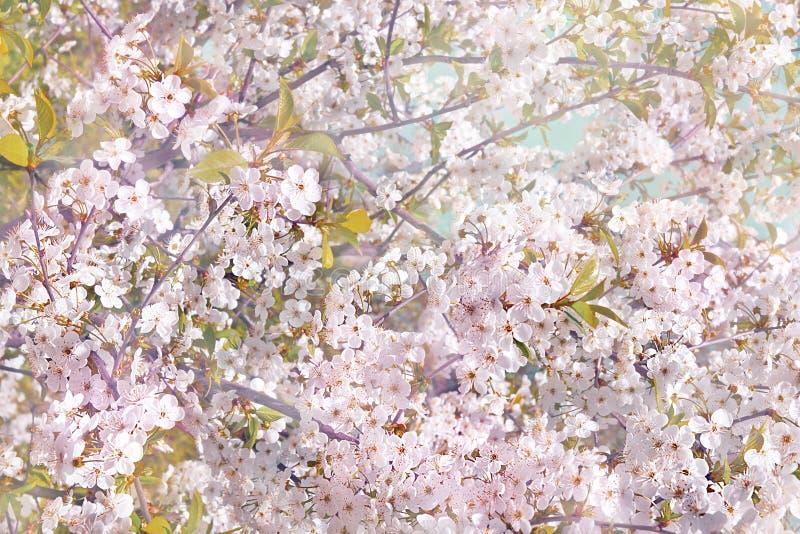 Kwiatonośne jabłoni gałąź, śliwki ilustracji
