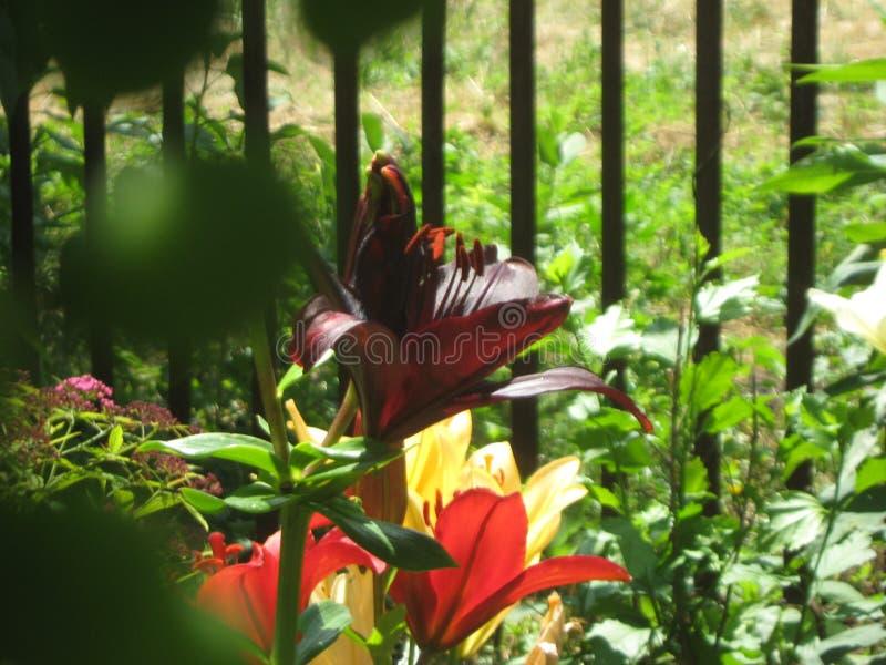 Kwiatonośne leluje w ogródzie fotografia stock