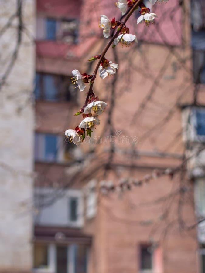 Kwiatonośne morele w mieście zdjęcie royalty free