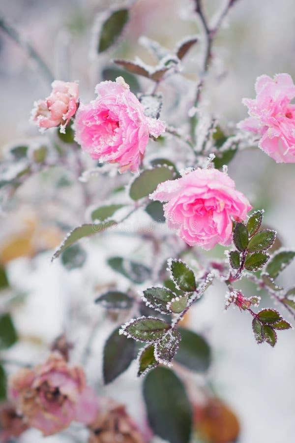 Kwiatonośne różowe róże pod śniegiem, rocznik, pastelowi kolory zdjęcie stock