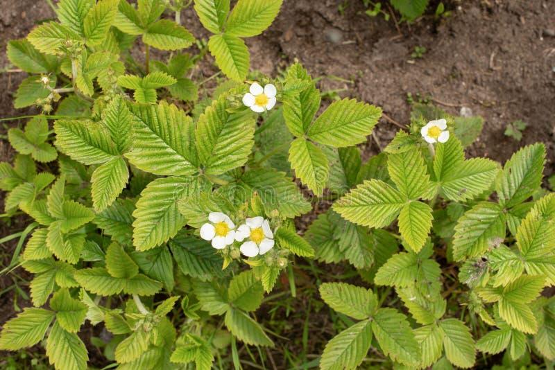 Kwiatono?ne truskawki w wio?nie zdjęcie stock