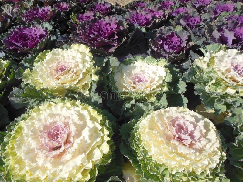 Kwiatonośnego kale ornamentacyjny kapust, bielu i purpur ulistnienie, obraz royalty free