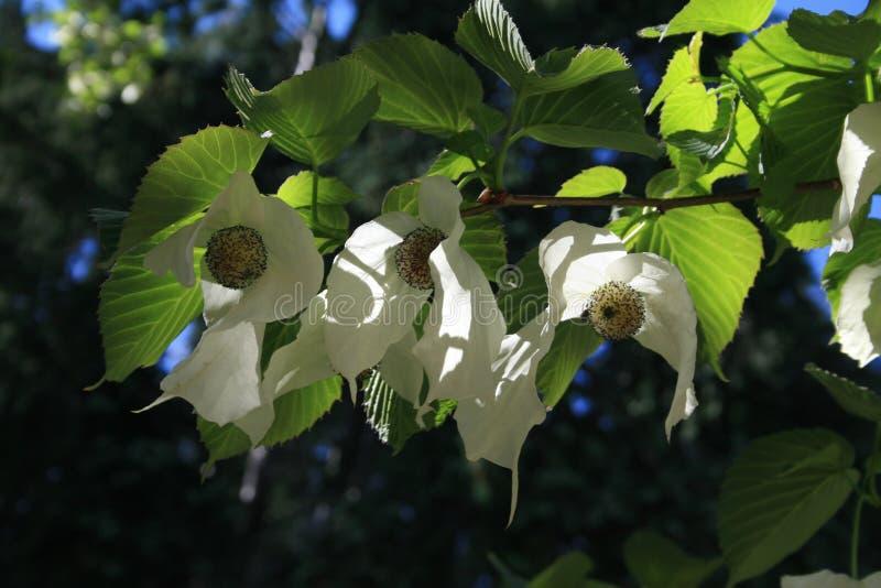 Kwiatonośnej banderki davidia drzewny involucrata obraz stock