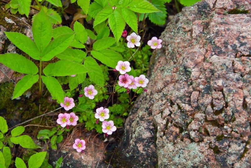 Kwiatonośnej rośliny menchii badan zdjęcia royalty free